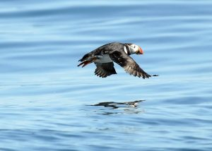 Hardy Boat Cruises- Monhegan Ferry & Puffin Watch